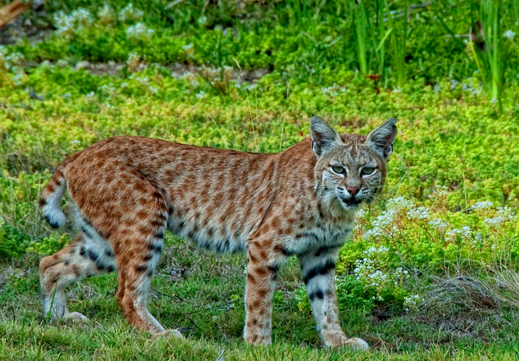 Cresskill Bobcat Sighting Reported Pascack Press Northern Valley Press